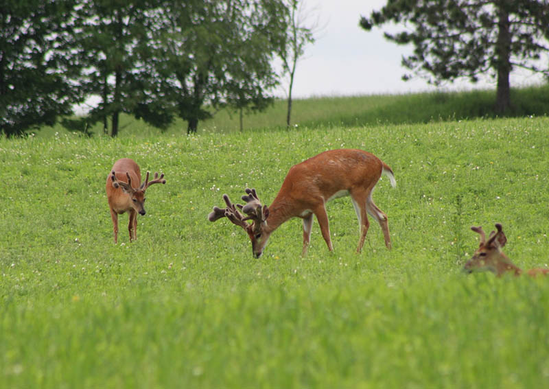 whitetail deer hunting 4