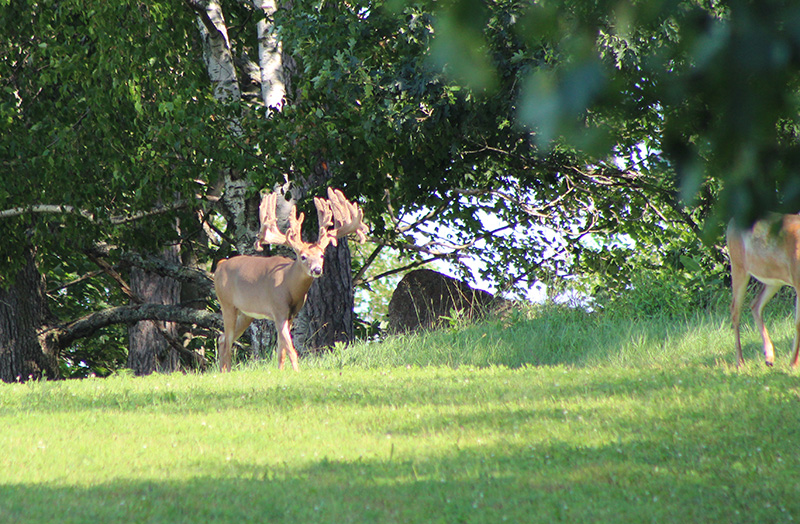WildernessWhitetails aug 18