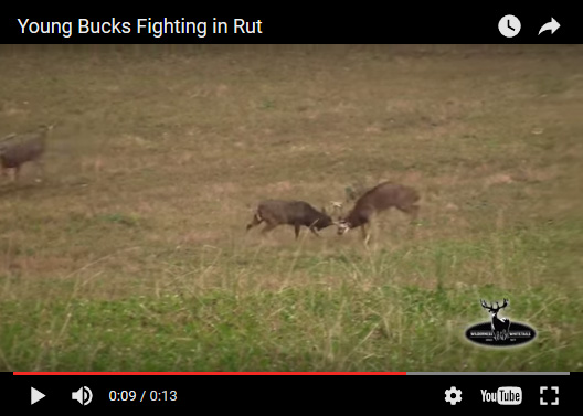 bucks fighting
