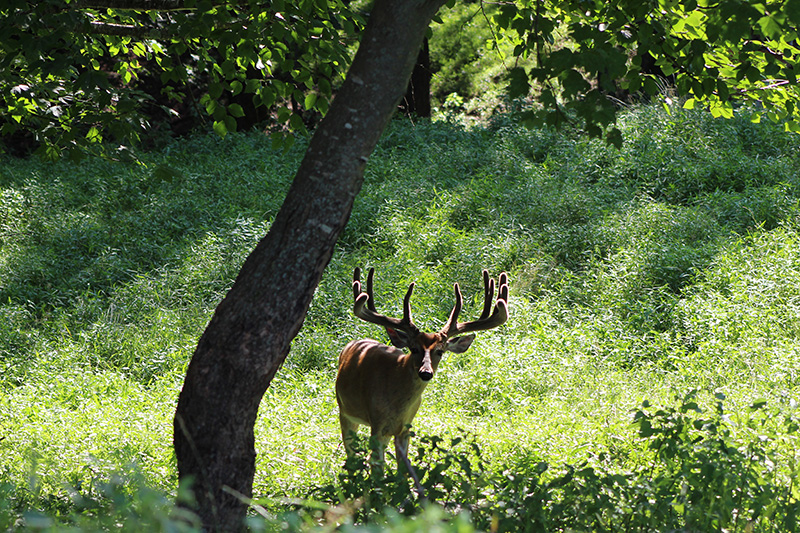 WildernessWhitetails aug 3