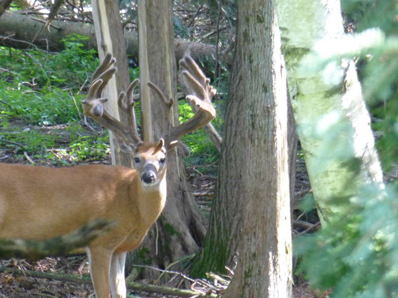 WildernessWhitetails aug 4