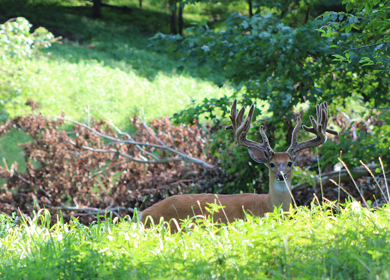WildernessWhitetails aug 19