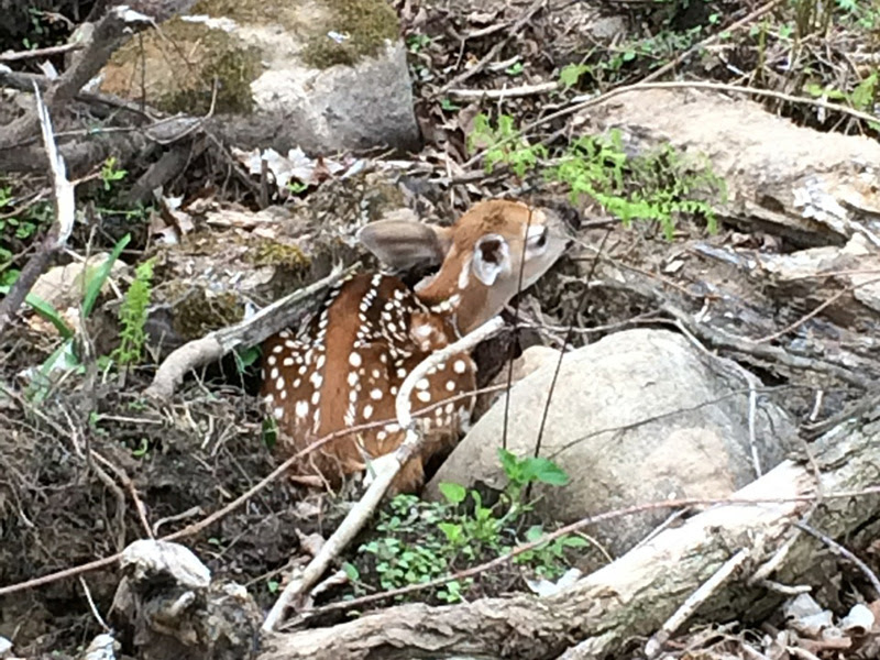 Fawn at Wilderness Whitetails